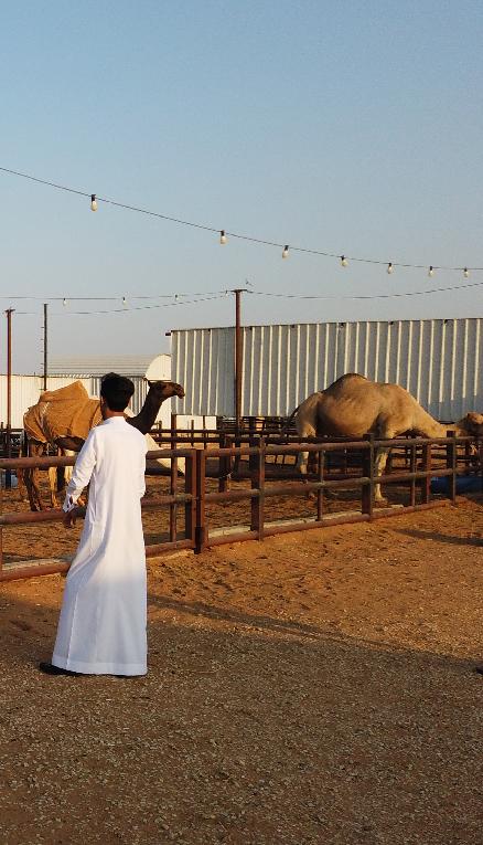 CAMEL MARKET SAUDIA ARABIA