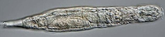 Hibernatus? Un animal survit 24 000 ans dans le permafrost